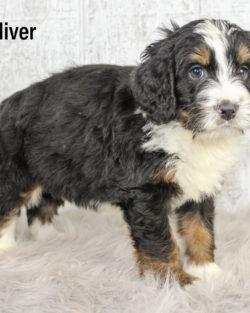 Oliver 06