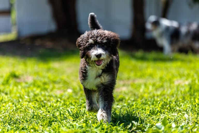Bernedoodle puppies for sale in ohio