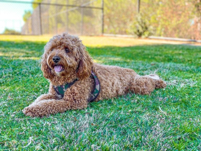 Cavapoo puppies for sale in ohio