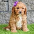 Cocoa 03
