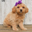 Lily 02 1