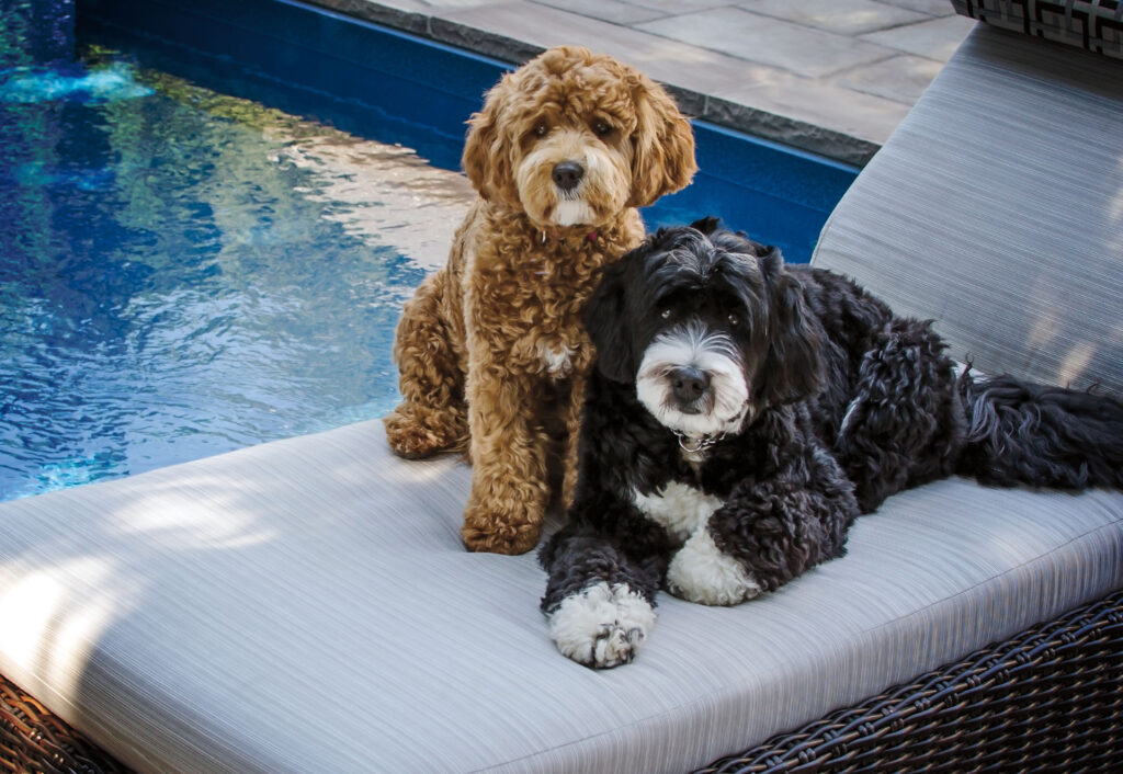 Two Bernedoodle Puppies