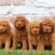 Mini Poodle Litter 1127