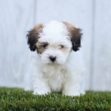 shih tzu poodle, tzu poodle mix, Shih-Poo puppies, Shih-poo, shih poo puppies for sale, shih poo for sale, shih poo dog, shih tzu and poodle mix, Shihpoos, Shih Tzu Poodle, Shih Tzu Poodle Mix, Shih Poo puppy, Shih Poo puppy for sale, Shih poo puppies for sale, Shih poo puppies for sale near me, Shih Poo Puppies for sale near me, Shih Poos for sale near me, Shih Poos puppy for sale near me, cute Shih Poo puppy, cute Shih Poo puppies, Adorable Shih Poo puppy, adorable Shi Poo puppies, sweet Shih Poo puppy, sweet Shih Poo puppies, fluffy Shih poo puppy, fluffy Shih-Poo puppies, hypoallergenic puppies, hypoallergenic puppy, hypoallergenic puppy for sale, hypoallergenic puppy for sale near me, hypoallergenic puppies for sale, hypoallergenic puppies for sale near me, hypoallergenic dog breed, hypoallergenic dog breeds, non shedding puppy, non shedding puppies, non shedding puppy for sale, non shedding puppy for sale near me, non shedding puppies for sale, non shedding puppies for sale near me, non shedding dog breed, non shedding dog breeds, puppies that don't shed, puppies that don't shed for sale, puppies that don't shed for sale near me, puppy breeds that don't shed, puppy breeds that don't shed for sale, puppy breeds that don't shed for sale near me, puppy breeds that don't shed for sale in ohio, best dog breeds for non shedding, Puppy for sale, puppies for sale, puppy for sale near me, puppies for sale near me, cute puppy, cute puppy for sale, cute puppy for sale near me, cute puppy for sale in ohio, cute puppies, cute puppies for sale, cute puppies for sale near me, cute puppies for sale in Ohio, adorable puppy, sweet puppy, sweet puppies, sweet puppy for sale, sweet puppies for sale, sweet puppy for sale near me, sweet puppies for sale near me, sweet puppy for sale in Ohio, sweet puppies for sale in Ohio, best dog breeder near me, best dog breeders in Ohio,