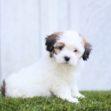 shih tzu poodle, tzu poodle mix, Shih-Poo puppies, Shih-poo, shih poo puppies for sale, shih poo for sale, shih poo dog, shih tzu and poodle mix, Shihpoos, Shih Tzu Poodle, Shih Tzu Poodle Mix, Shih Poo puppy, Shih Poo puppy for sale, Shih poo puppies for sale, Shih poo puppies for sale near me, Shih Poo Puppies for sale near me, Shih Poos for sale near me, Shih Poos puppy for sale near me, cute Shih Poo puppy, cute Shih Poo puppies, Adorable Shih Poo puppy, adorable Shi Poo puppies, sweet Shih Poo puppy, sweet Shih Poo puppies, fluffy Shih poo puppy, fluffy Shih-Poo puppies, hypoallergenic puppies, hypoallergenic puppy, hypoallergenic puppy for sale, hypoallergenic puppy for sale near me, hypoallergenic puppies for sale, hypoallergenic puppies for sale near me, hypoallergenic dog breed, hypoallergenic dog breeds, non shedding puppy, non shedding puppies, non shedding puppy for sale, non shedding puppy for sale near me, non shedding puppies for sale, non shedding puppies for sale near me, non shedding dog breed, non shedding dog breeds, puppies that don't shed, puppies that don't shed for sale, puppies that don't shed for sale near me, puppy breeds that don't shed, puppy breeds that don't shed for sale, puppy breeds that don't shed for sale near me, puppy breeds that don't shed for sale in ohio, best dog breeds for non shedding, Puppy for sale, puppies for sale, puppy for sale near me, puppies for sale near me, cute puppy, cute puppy for sale, cute puppy for sale near me, cute puppy for sale in ohio, cute puppies, cute puppies for sale, cute puppies for sale near me, cute puppies for sale in Ohio, adorable puppy, sweet puppy, sweet puppies, sweet puppy for sale, sweet puppies for sale, sweet puppy for sale near me, sweet puppies for sale near me, sweet puppy for sale in Ohio, sweet puppies for sale in Ohio, best dog breeder near me, best dog breeders in Ohio, Cutest Shih-Poo ever