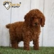 Poodle, Poodle for sale, Poodle for sale near me, Poodle for sale in Ohio, Poodle puppy, Poodle puppy for sale, Poodle puppy for sale near me, Poodle puppy for sale in Ohio, Poodle puppies, Poodle puppies for sale, Poodle puppies for sale near me, Poodle puppies for sale in Ohio, Poodles, Poodles for sale, Poodles for sale near me, Poodles for sale in Ohio, Poodle puppies, Poodle puppies for sale, Poodle puppies for sale near me, Poodle puppies for sale in Ohio, Mini Poodle, Mini Poodle For sale, Mini Poodle for sale near me, Mini Poodle for sale in Ohio, Mini Poodle puppy, Mini Poodle puppy for sale, Mini Poodle puppy for sale near me, Mini Poodle puppy for sale in Ohio, Mini Poodle puppies, Mini Poodle puppies for sale, Mini Poodle puppies for sale near me, Mini Poodle puppies for sale in Ohio, Mini Poodles, Mini Poodles For sale, Mini Poodles for sale near me, Mini Poodles for sale in Ohio, Mini Poodle puppies, Mini Poodle puppies for sale, Mini Poodle puppies for sale near me, Mini Poodle puppies for sale in Ohio, Miniature Poodle, Miniature Poodle for sale, Miniature Poodle for sale near me, Miniature Poodle for sale in Ohio, Miniature Poodle puppy, Miniature Poodle puppy for sale, Miniature Poodle puppy for sale near me, Miniature Poodle puppy for sale in Ohio Miniature Poodle puppies, Miniature Poodle puppies for sale, Miniature Poodle puppies for sale near me, Miniature Poodle puppies for sale in Ohio, Miniature Poodles, Miniature Poodles for sale, Miniature Poodles for sale near me, Miniature Poodles for sale in Ohio, Miniature Miniature Poodle puppies, Miniature Poodle puppies for sale, Miniature Poodle puppies for sale near me, Miniature Poodle puppies for sale in Ohio, Cute Miniature Poodle puppy, Cute Miniature Poodle puppies, Adorable Miniature Poodle puppy, Adorable Miniature Poodle puppies, Sweet Miniature Poodle puppy, Sweet Miniature Poodle puppies, Best Miniature Poodle breeder, Best Miniature Poodle breeder near me, Best Miniature Poodle breeder 