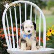 Bernedoodle, Bernedoodle for sale, Bernedoodle for sale near me, Bernedoodle for sale in Ohio, Bernedoodle puppy, Bernedoodle puppy for sale, Bernedoodle puppy for sale near me, Bernedoodle puppy for sale in Ohio, Bernedoodle puppies, Bernedoodle puppies for sale, Bernedoodle puppies for sale near me, Bernedoodle puppies for sale in Ohio, Bernedoodles, Bernedoodles for sale, Bernedoodles for sale near me, Bernedoodles for sale in Ohio, Bernedoodle puppies, Bernedoodle puppies for sale, Bernedoodle puppies for sale near me, Bernedoodle puppies for sale in Ohio, Mini Bernedoodle , Mini Bernedoodle For sale, Mini Bernedoodle for sale near me, Mini Bernedoodle for sale in Ohio, Mini Bernedoodle puppy, Mini Bernedoodle puppy for sale, Mini Bernedoodle puppy for sale near me, Mini Bernedoodle puppy for sale in Ohio, Mini Bernedoodle puppies, Mini Bernedoodle puppies for sale, Mini Bernedoodle puppies for sale near me, Mini Bernedoodle puppies for sale in Ohio, Mini Bernedoodles, Mini Bernedoodles For sale, Mini Bernedoodles for sale near me, Mini Bernedoodles for sale in Ohio, Mini Bernedoodle puppies, Mini Bernedoodle puppies for sale, Mini Bernedoodle puppies for sale near me, Mini Bernedoodle puppies for sale in Ohio, Cute Mini Bernedoodle puppy, Cute Mini Bernedoodle puppies, Adorable Mini Bernedoodle puppy, Adorable Mini Bernedoodle puppies, Sweet Mini Bernedoodle puppy, Sweet Mini Bernedoodle puppies, Best Mini Bernedoodle breeder, Best Mini Bernedoodle breeder near me, Best Mini Bernedoodle breeder in Ohio, Best Mini Bernedoodle breeders, Best Mini Bernedoodle breeders near me, Best Mini Bernedoodle breeders in Ohio, Playful Mini Bernedoodle puppy Playful Mini Bernedoodle puppies, Playful Mini Bernedoodle puppy for sale, Playful Mini Bernedoodle puppies for sale near me, Puppy for sale, Puppies for sale, Puppies sale near me, Puppies for sale near me, Cute Puppy, Cute puppy for sale, Cute puppy for sale near me, Cute puppy for sale in ohio, Cute puppies, Cute puppi